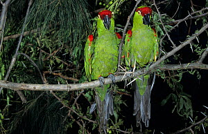 Thick-billed parrots (Rhynchopsitta pachyrhyncha) captive, endangered species.  Endemic to Mexico. - Roland Seitre