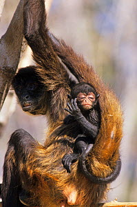 Black-handed Spider Monkey (Ateles geoffroyi) mother and baby, captive, native to Central America. Endangered species.  -  Roland Seitre