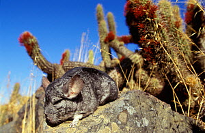Long-tailed chinchilla (Chinchilla lanigera) sleeping, captive. Vulnerable species. Endemic to Chile. - Roland Seitre