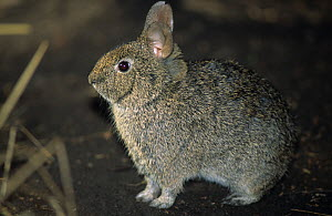 Volcano Rabbit (Romerolagus diazi) captive, endemic to four volcanoes outside Mexico City, Mexico. Endangered species. - Roland Seitre