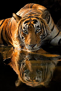 Bengal Tiger (Panthera tigris tigris) male 'Romeo T6' cooling off in waterhole during hot summer. Ranthambore National Park, India.  -  Andy  Rouse