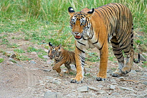 Bengal Tiger (Panthera tigris tigris) female 'Noor T39' with 3 month cub. Ranthambore National Park, India. - Andy  Rouse