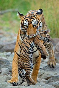 Bengal Tiger (Panthera tigris tigris) female 'Noor T39' carrying cub. Ranthambore National Park, India.  -  Andy  Rouse