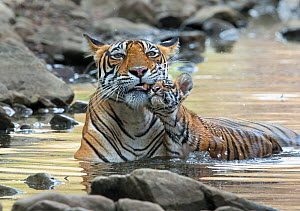 Bengal Tiger (Panthera tigris tigris) female 'Noor T39' with cubs in water. Ranthambore National Park, India.  -  Andy  Rouse