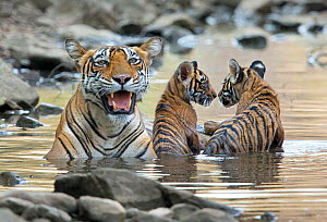 Bengal Tiger (Panthera tigris tigris) female 'Noor T39' with cubs playing in water. Ranthambore National Park, India. - Andy  Rouse