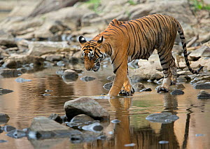 Bengal Tiger (Panthera tigris tigris) female 'Noor T39' snarling at water because of crocodiles. Ranthambore National Park, India. - Andy  Rouse