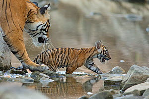 Bengal Tiger (Panthera tigris tigris) female 'Noor T39' about to pick up runaway cub. Ranthambore National Park, India. - Andy  Rouse