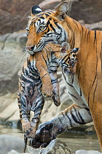 Bengal Tiger (Panthera tigris tigris) female 'Noor T39' carrying wet cub. Ranthambore National Park, India.  -  Andy  Rouse