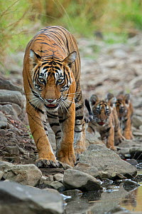 Bengal Tiger (Panthera tigris tigris) mother 'Noor T39' leading cubs to water. Ranthambore National Park, India. - Andy  Rouse