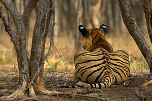 Bengal Tiger (Panthera tigris tigris) rear view of male 'Sultan T72' watching prey. Ranthambore National Park, India. - Andy  Rouse