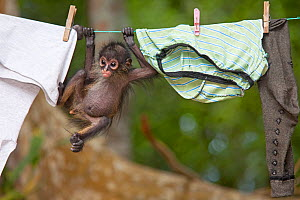Central American spider monkey (Ateles geoffroyi) orphan hanging on washing line. Baby monkey was kept as pet by workers at El Mirador base camp, after mother was killed. Selva Maya Biosphere Reserve,...  -  Claudio  Contreras