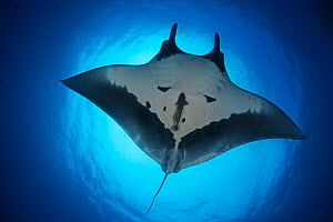 Giant Manta Ray (Manta birostris), San Benedicto Island, Revillagigedo Archipelago Biosphere Reserve (Socorro Islands), Pacific Ocean, Western Mexico. Vulnerable species. - Claudio  Contreras