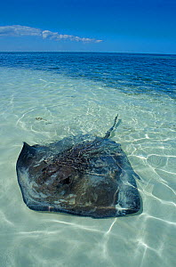 Southern Stingray (Hypanus americanus) in shallow water over sand, Contoy Island National Park, Caribbean Sea, Mexico, January - Claudio  Contreras