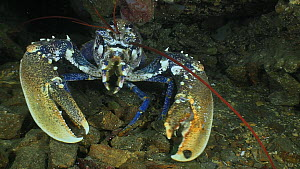 Common lobster (Homarus gammarus) retreating into a hole, Sark, British Channel Islands, UK, August.  -  Sue Daly