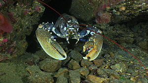 Common lobster (Homarus gammarus) approaching the camera, Sark, British Channel Islands, UK, August. - Sue Daly