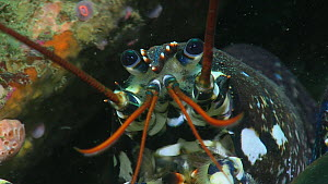 Close up of a Common lobster (Homarus gammarus) retreating into a hole, Sark, British Channel Islands, UK, August.  -  Sue Daly