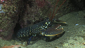 Common lobster (Homarus gammarus) emerging from a hole at night, Sark, British Channel Islands, UK, September.  -  Sue Daly