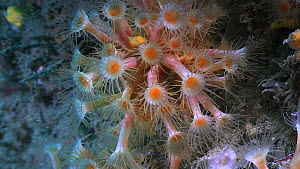 Close-up of a group of Yellow cluster anemones (Parazoanthus axinellae), Sark, British Channel Islands, UK, August. - Sue Daly