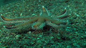 Seven rayed starfish (Luidia ciliaris) moving over the seabed, showing use of its tube feet to walk, Sark, British Channel Islands, UK, August. - Sue Daly
