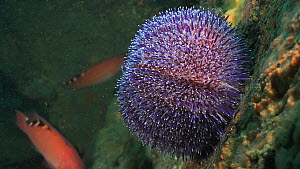 Common sea urchin (Echinus esculentus) attached to a wall, with female Cuckoo wrasse (Labrus mixtus) swimming in the background, Sark, British Channel Islands, UK, 2013.  -  Sue Daly