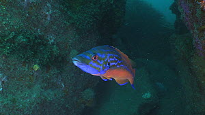 Male Cuckoo wrasse (Labrus mixtus) opening mouth, before swimming out of the frame, Sark, British Channel Islands, UK, July.  -  Sue Daly