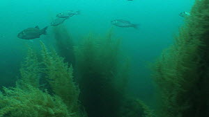 Bass Dicentrachus labrax, Wide angle, shoal swims by, 2013 , Sark, British Channel Islands, UK, - Sue Daly
