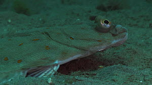 Plaice (Pleuronectes platessa) swimming over the seabed, Sark, British Channel Islands, UK, June.  -  Sue Daly