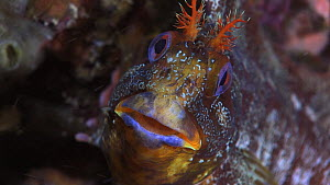 Close-up of a Tompot blenny (Parablennius gattorugine) looking around on the seabed, Sark, British Channel Islands, UK,  -  Sue Daly