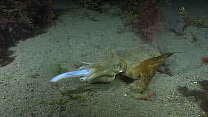 Common cuttlefish (Sepia officinalis) hunting, filmed at night, Sark, British Channel Islands, UK, August.  -  Sue Daly