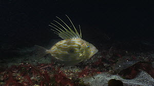John dory (Zeus faber) swimming over the seabed and then out of frame, filmed at night, Sark, British Channel Islands, UK, October.  -  Sue Daly