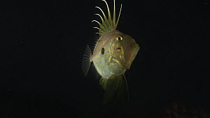 John dory (Zeus faber) swimming at night, Sark, British Channel Islands, UK, October.  -  Sue Daly