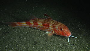 Red mullet (Mullus surmuletus) using its feelers to detect food, filmed at night, Sark, British Channel Islands, UK, October.  -  Sue Daly