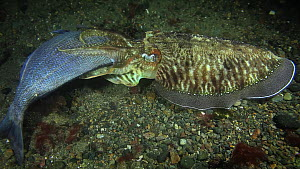 Cuttlefish (Sepia officinalis) eating a Seabream (Sparidae), filmed at night, Sark, British Channel Islands, UK, October.  -  Sue Daly