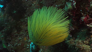 Feather duster fan worm (Sabella spallanzanii) with tentacles moving in the current, Sark, British Channel Islands, UK, August.  -  Sue Daly