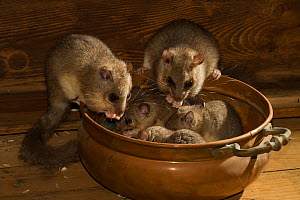 Fat / Edible dormouse (Glis glis) in a copper bowl in a house, captive - Kerstin  Hinze
