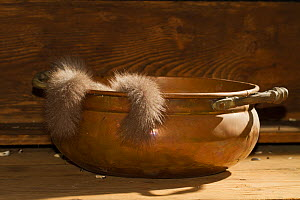 Fat / Edible dormice (Glis glis) in a copper bowl in a house, captive - Kerstin  Hinze