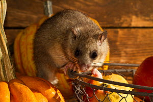 Fat dormouse (Glis glis) in a house, feeding on apples and pears in the storeroom with pumpkins, captive  -  Kerstin  Hinze