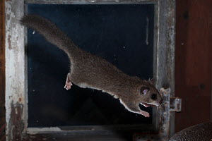 Fat / Edible dormouse (Glis glis) jumping in front of an old window, captive  -  Kerstin  Hinze
