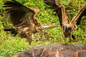 Indian vultures (Gyps indicus) squabbling whilst  scavenging on dead rhino, Mizoram, north east India. - Sandesh  Kadur