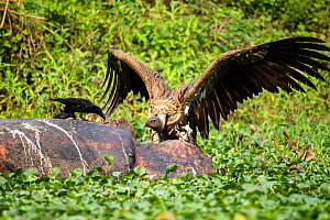 Indian vulture (Gyps indicus) scavenging on dead rhino, with wings spread aggressively at Thick billed crow (Corvus crassirostris) Mizoram, north east India. - Sandesh  Kadur