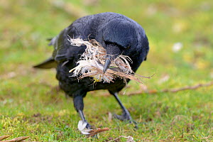 Carrion crow (Corvus corone) collecting feathers for nesting material, Echternach, Luxembourg - Michel  Poinsignon