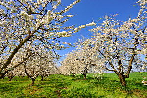 Cherry tree orchard in blossom (Prunus avium) in spring, Hunting, Lorraine, France - Michel  Poinsignon