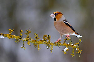 Hawfinch (Coccothraustes coccothraustes) Male perched on snowy branch in winter, Moselle, France. January.  -  Michel  Poinsignon