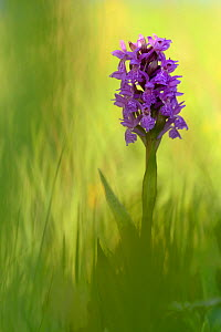 Irish march orchid (Dactylorhiza majalis) in flower, Sainte Marguerite, France, May.  -  Michel  Poinsignon