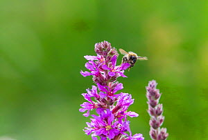 Brown banded carder bumblebee (Bombus humilis) flying towards Purple loosestrife (Lythrum salicaria) Monmouthshire, Wales, UK, September.  -  Phil Savoie