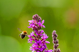 Common carder bumblebee (Bombus pascuorum) flying towards,  Purple loosestrife (Lythrum salicaria) Monmouthshire, Wales, UK, September.  -  Phil Savoie