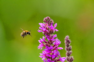 Common carder bumblebee (Bombus pascuorum) flying towards Purple loosestrife (Lythrum salicaria) flower, Monmouthshire, Wales, UK, September.  -  Phil Savoie