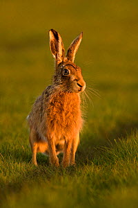 RF- European Hare (Lepus europaeus) male during courtship chase, UK, March. (This image may be licensed either as rights managed or royalty free.) - Andy  Rouse