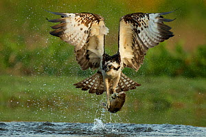 RF- Osprey (Pandion Haliaetus) catching trout, Scotland, UK, July. (This image may be licensed either as rights managed or royalty free.)  -  Andy  Rouse