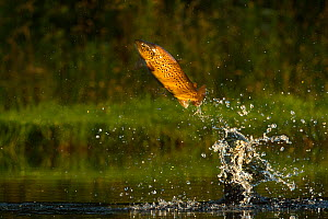 Brown trout (Salmo trutta) jumping for insects, Scotland, UK..  -  Andy  Rouse